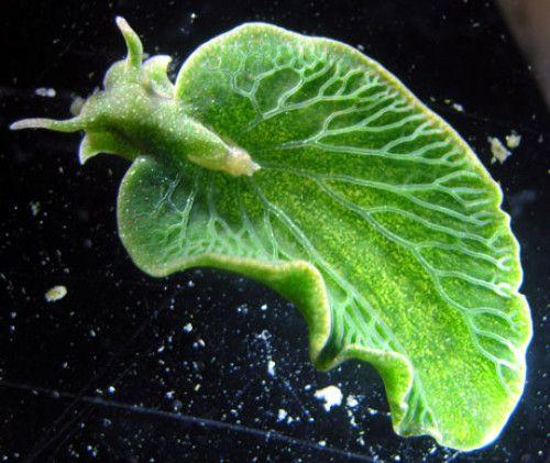 sea-slug