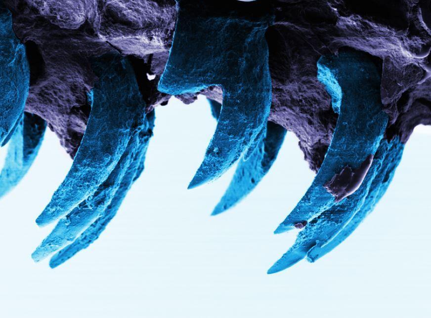limpet-teeth