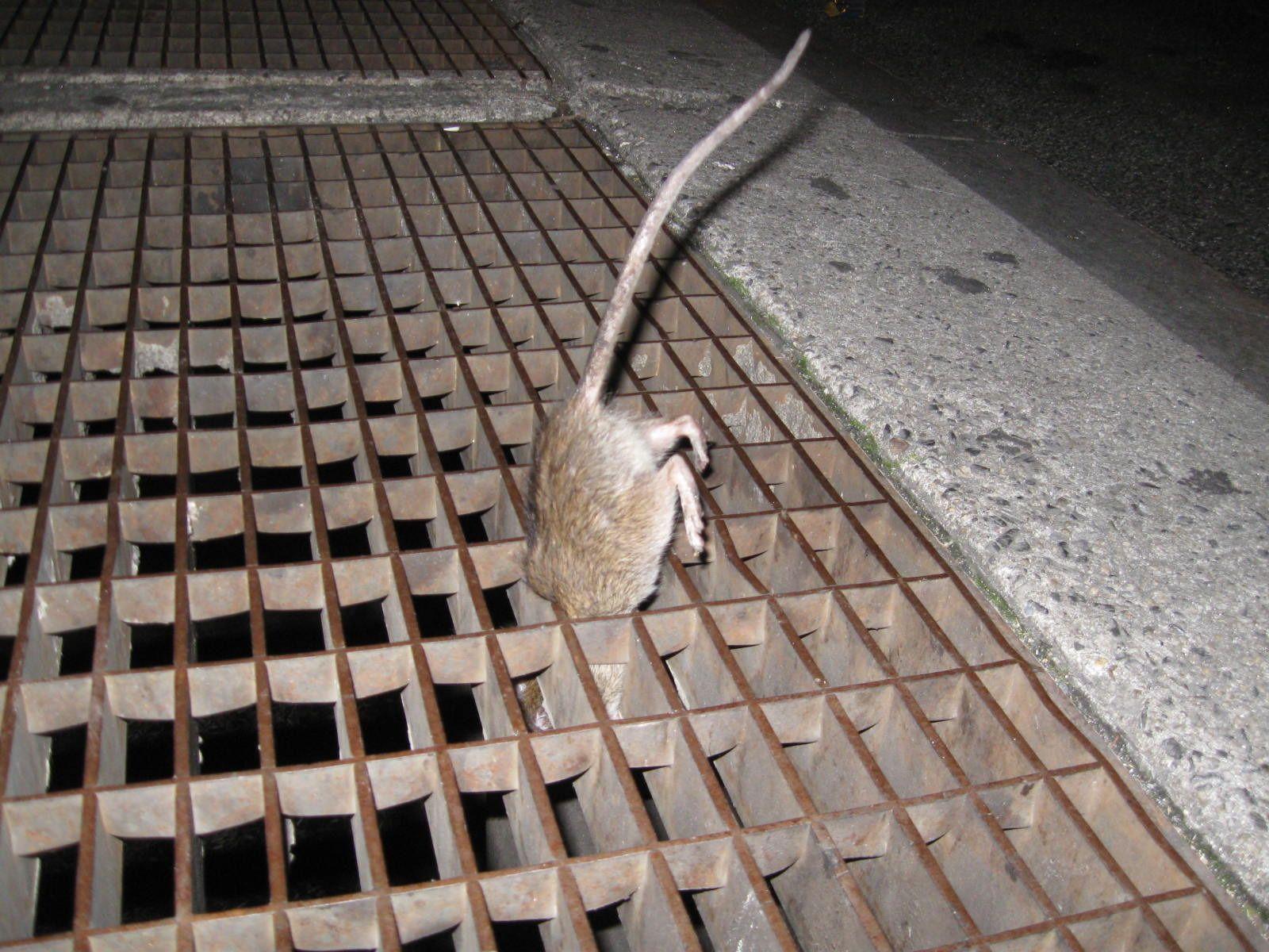 nyc-rat-grate