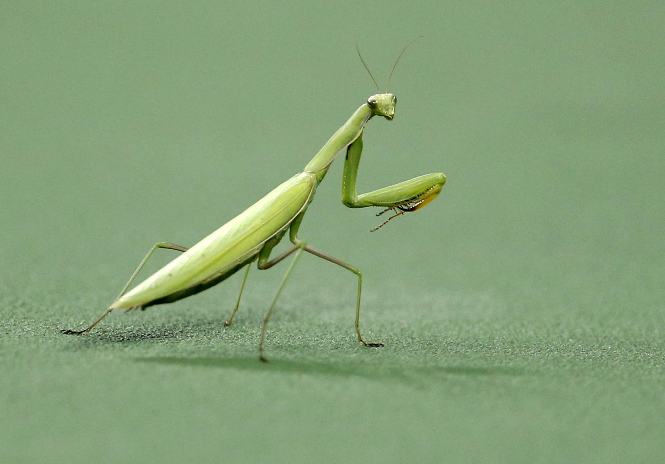 3-5-15 Praying mantis