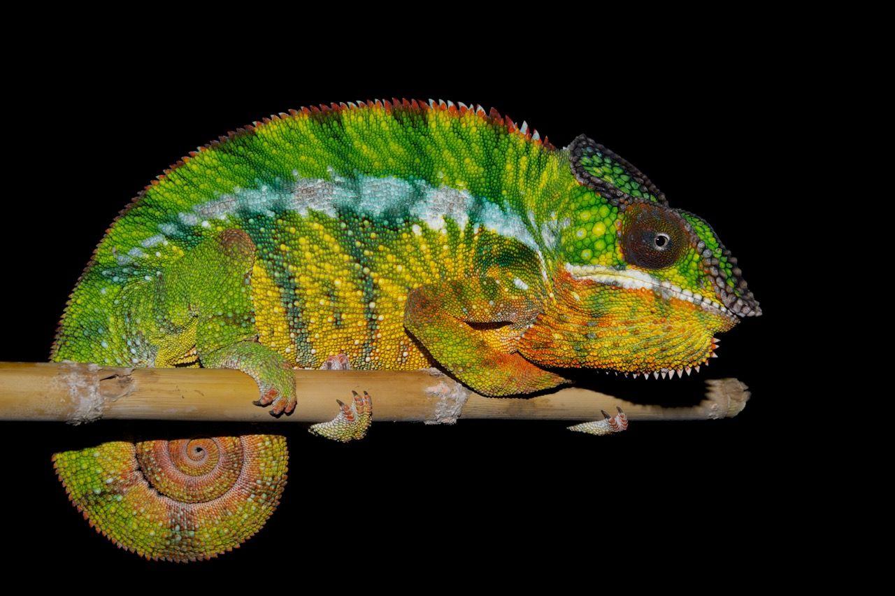 Chameleons' Color-Changing Secrets Unveiled