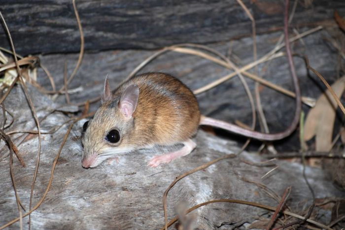 northern-hopping-mouse