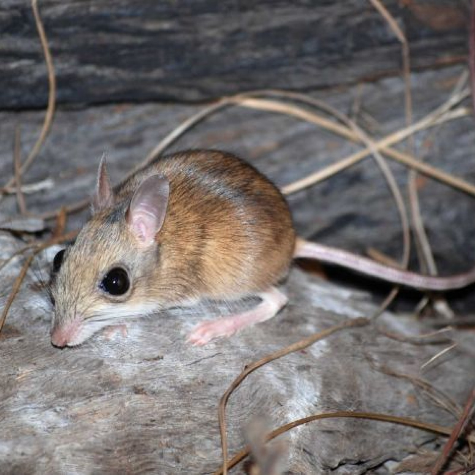 Endangered Hopping Rodent Captured on Camera for First Time