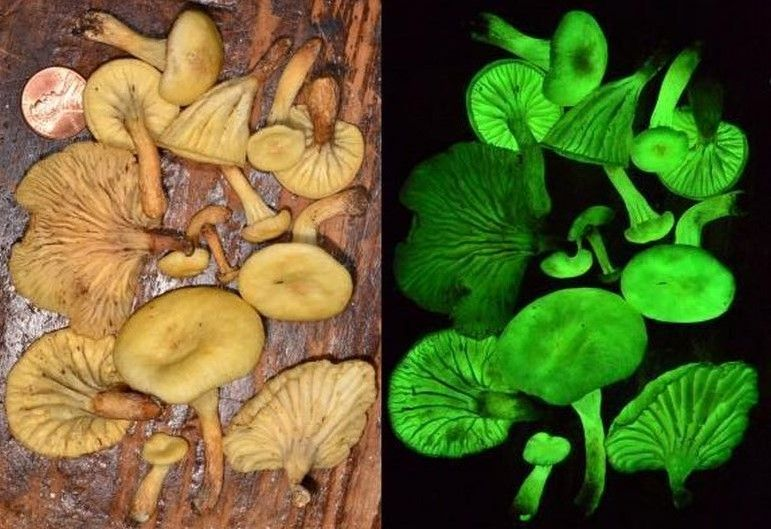 why some mushrooms glow in the dark