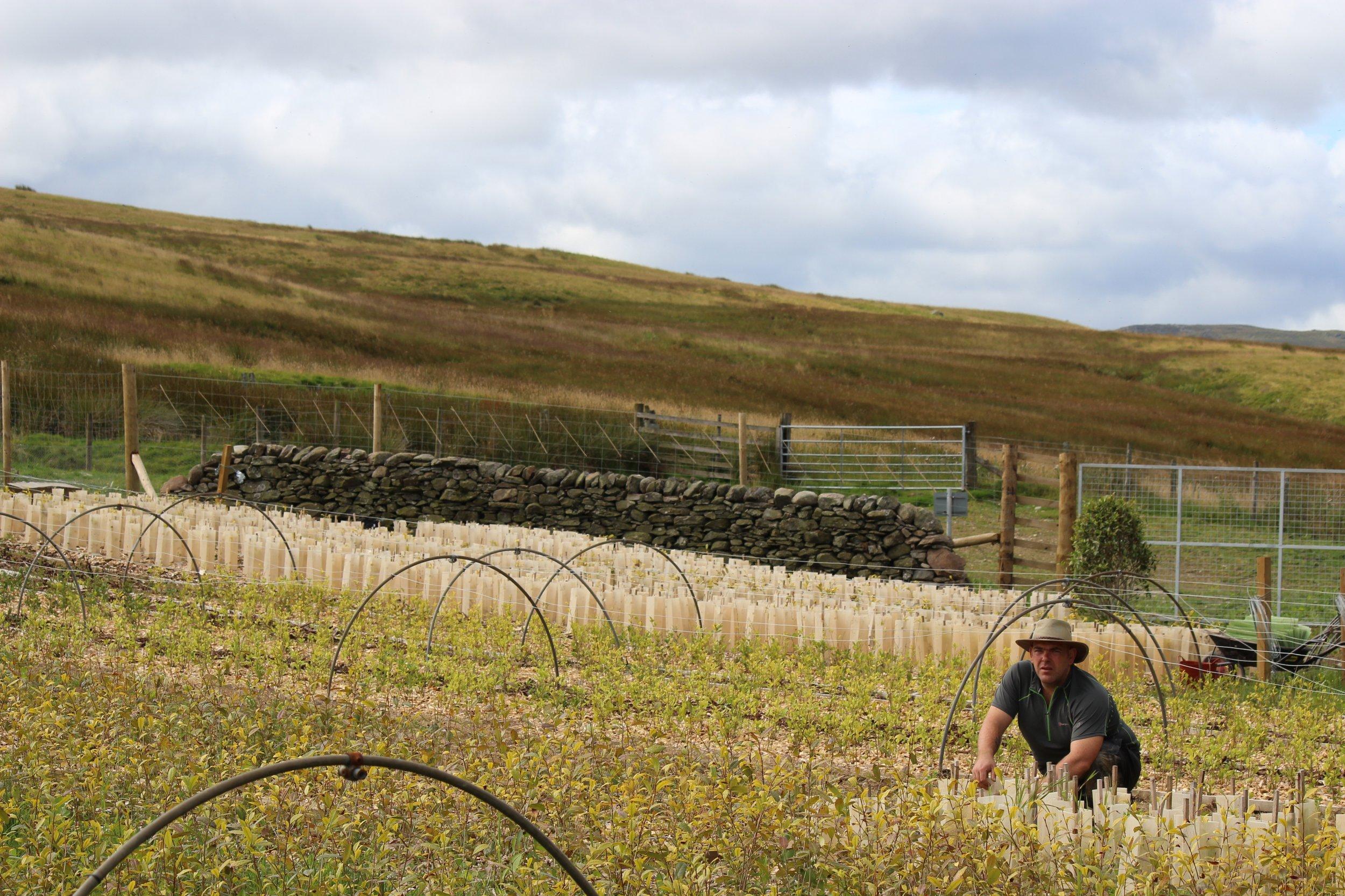 Tea Picking Scottish Style 2014