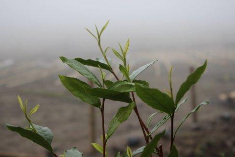 Tips of Scottish tea plants 2012