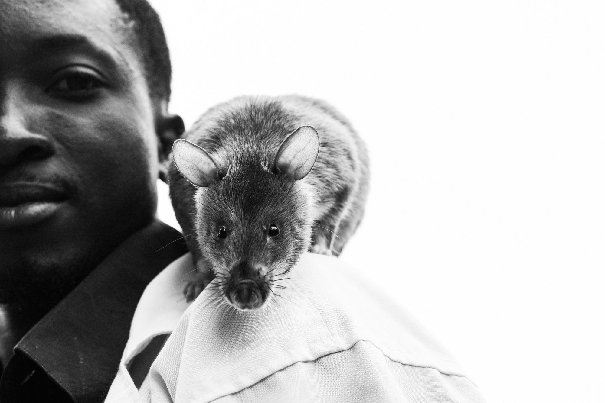 An African giant pouched rat sits on an APOPO worker's shoulder