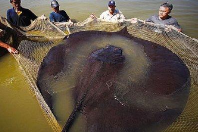 giant-stingray