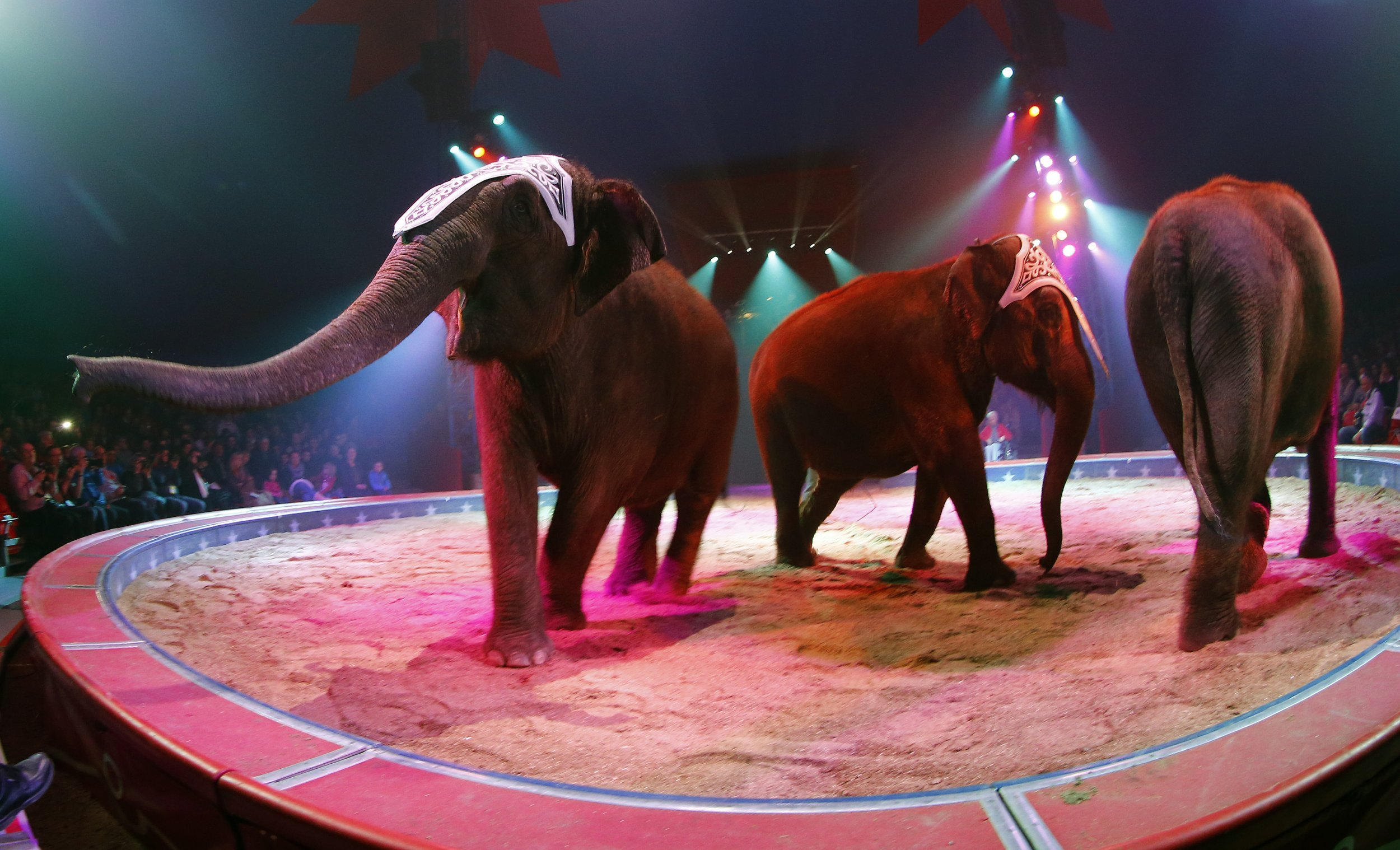 Elephants perform during a circus rehearsal