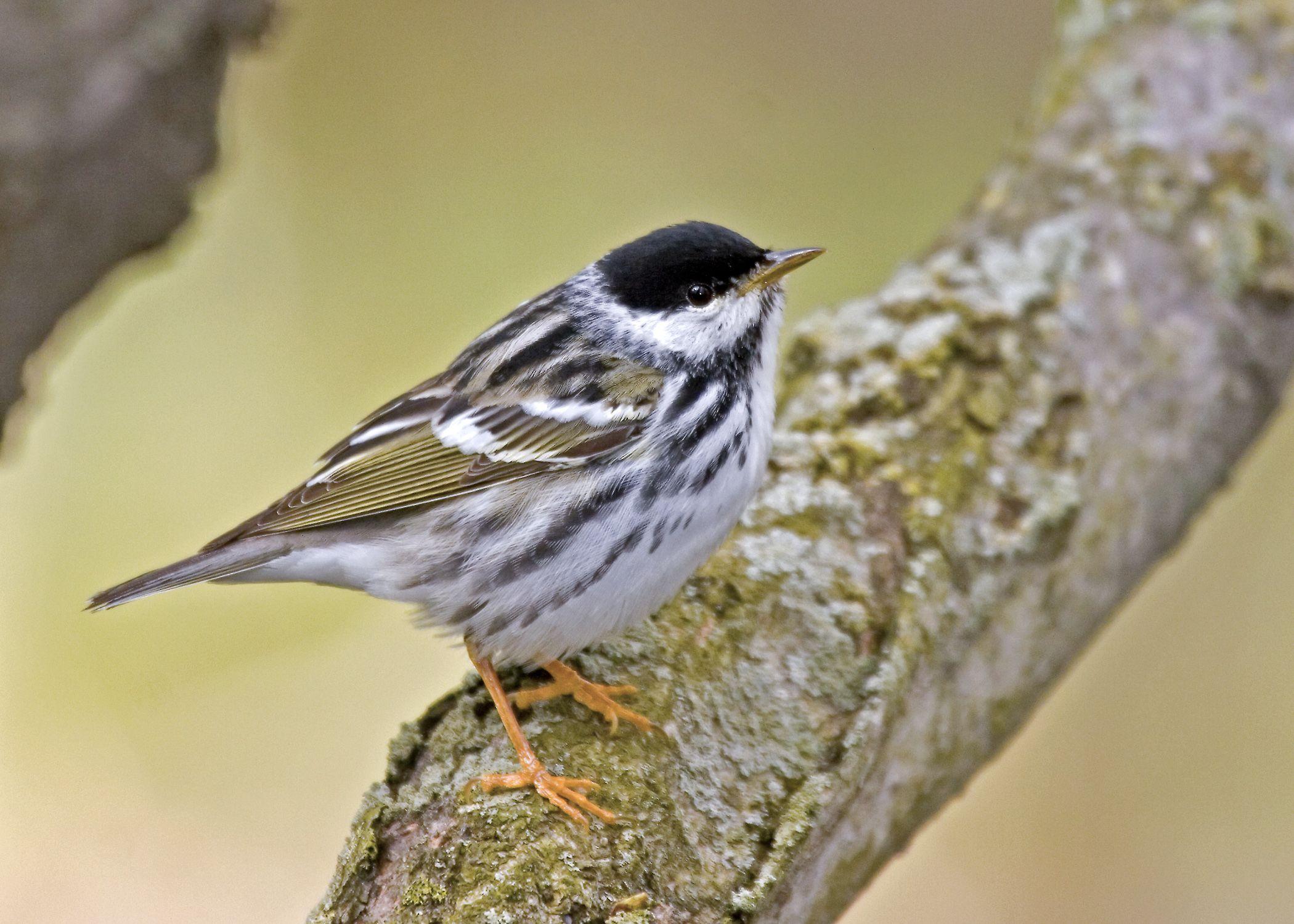 blackpoll-warbler-copyright-bryan-pfeiffer