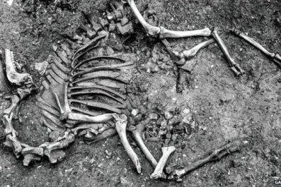 Camel skeleton
