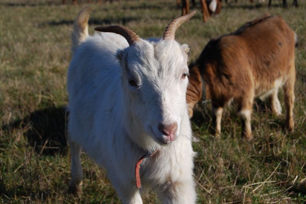 04_03_goats_01