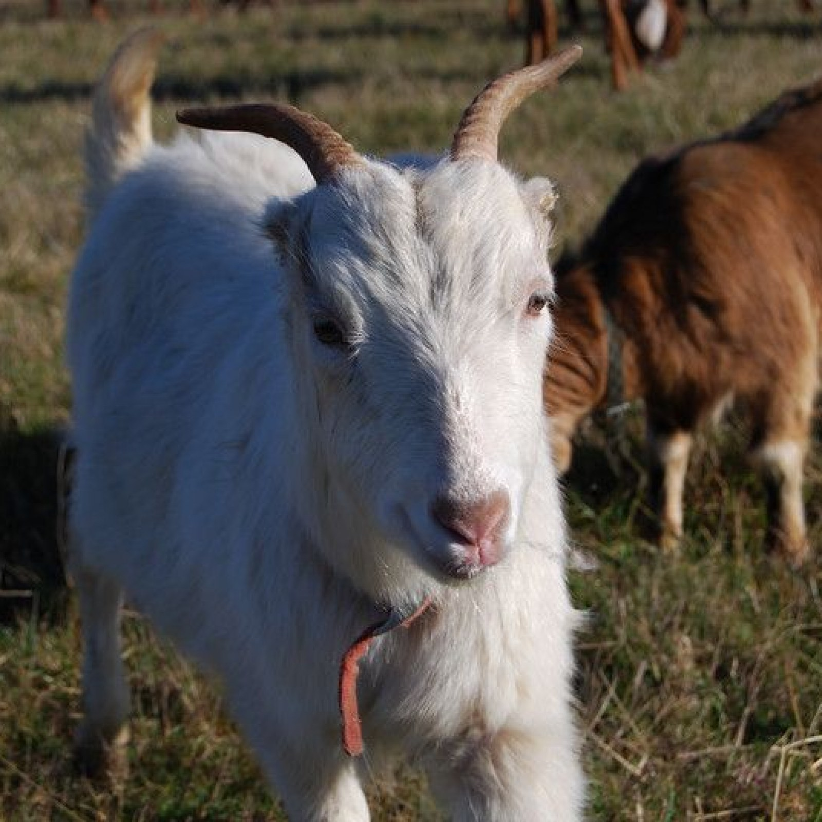 Meet the Goats of Amazon's New Goat Rental Service