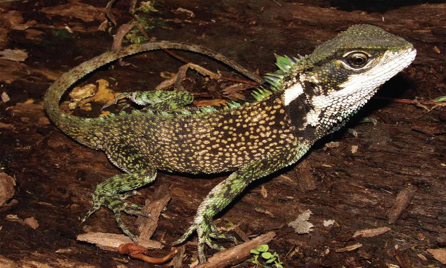 Enyalioides sophiarothschildae, one of three new species discovered in the Andes