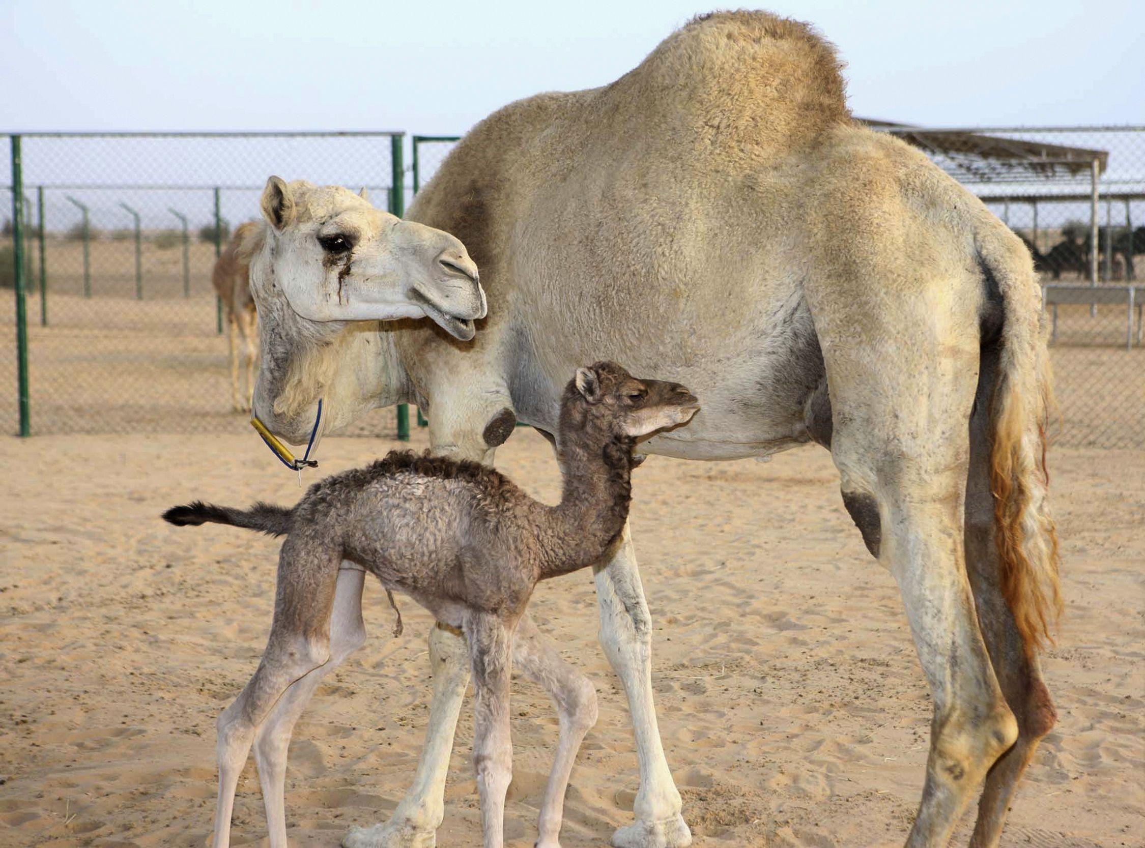 camel_0411