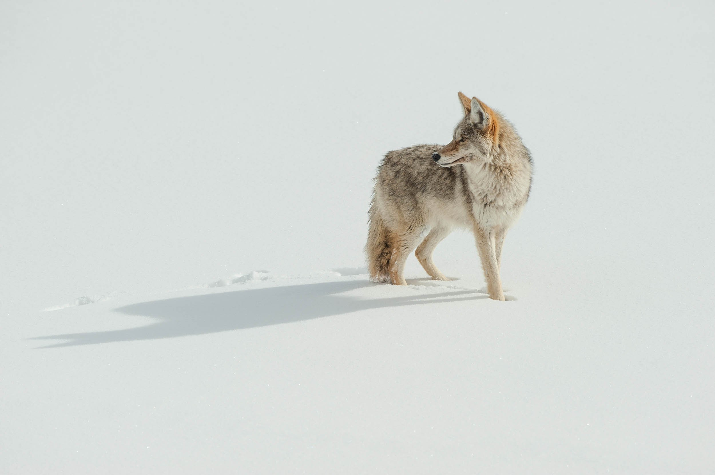 05_01_Coyotes_01