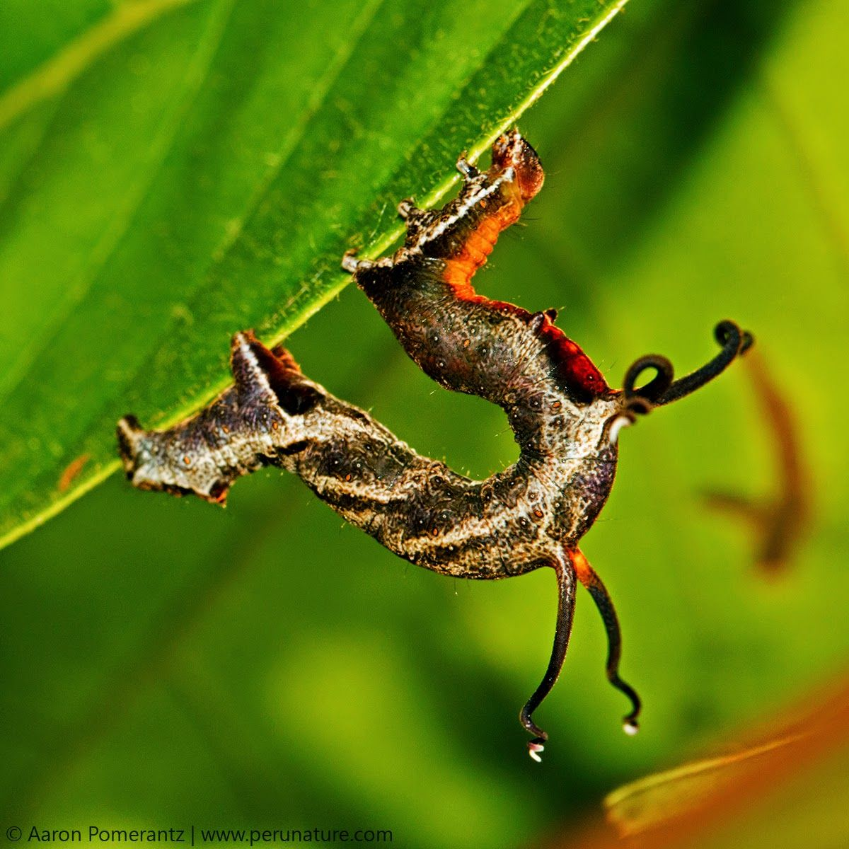 Video: Loud Noises Make This Caterpillar's Tentacles Vibrate