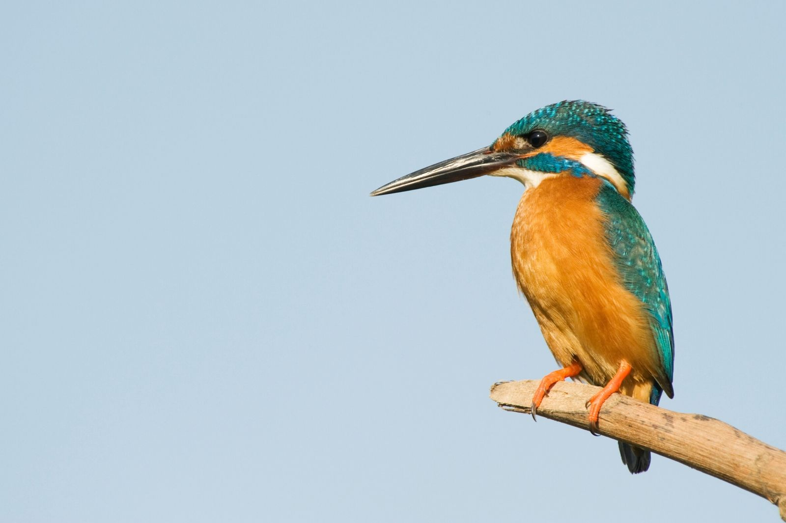 kingfisher-perched-branch
