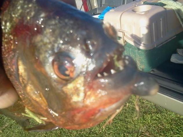Fisherman catches piranha in arkansas lake for Missouri game and fish