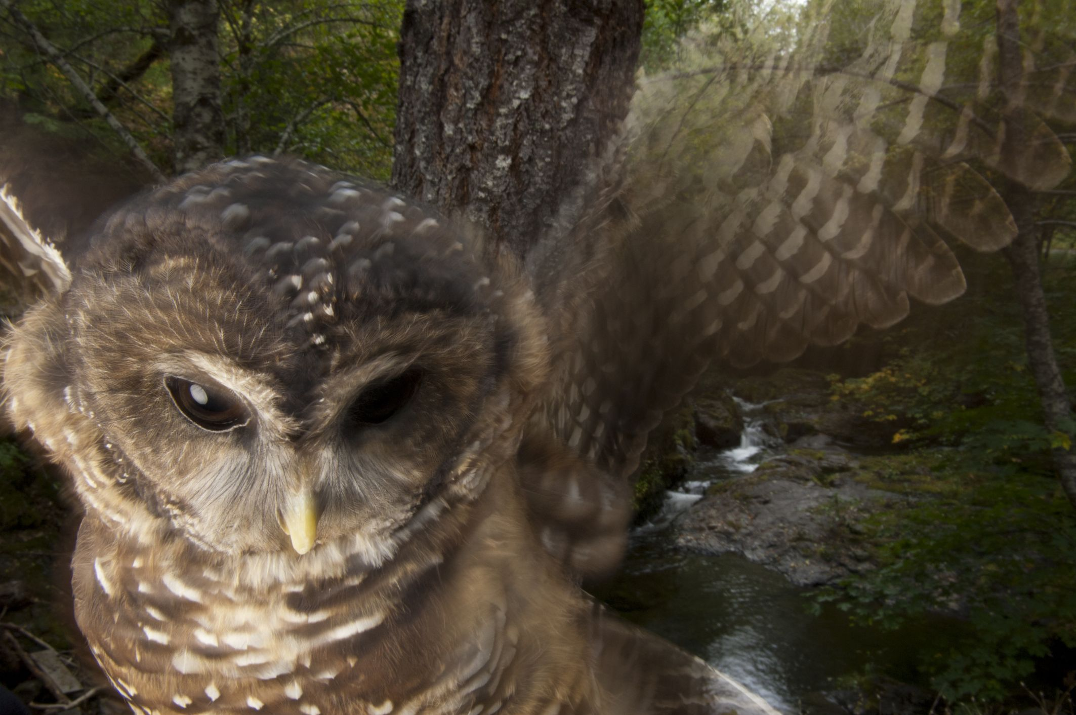 Killing Barred Owls To Keep Spotted Owls Breathing