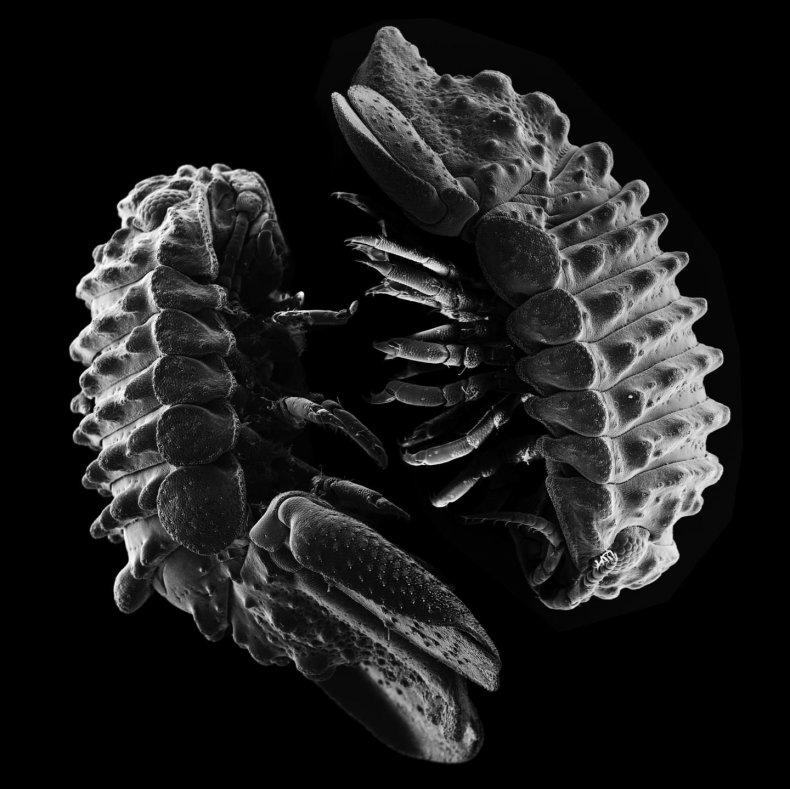 male-female-marine-pillbug