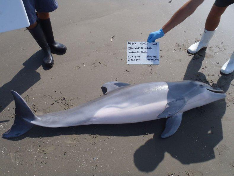 BP Oil Spill Dolphin Deaths