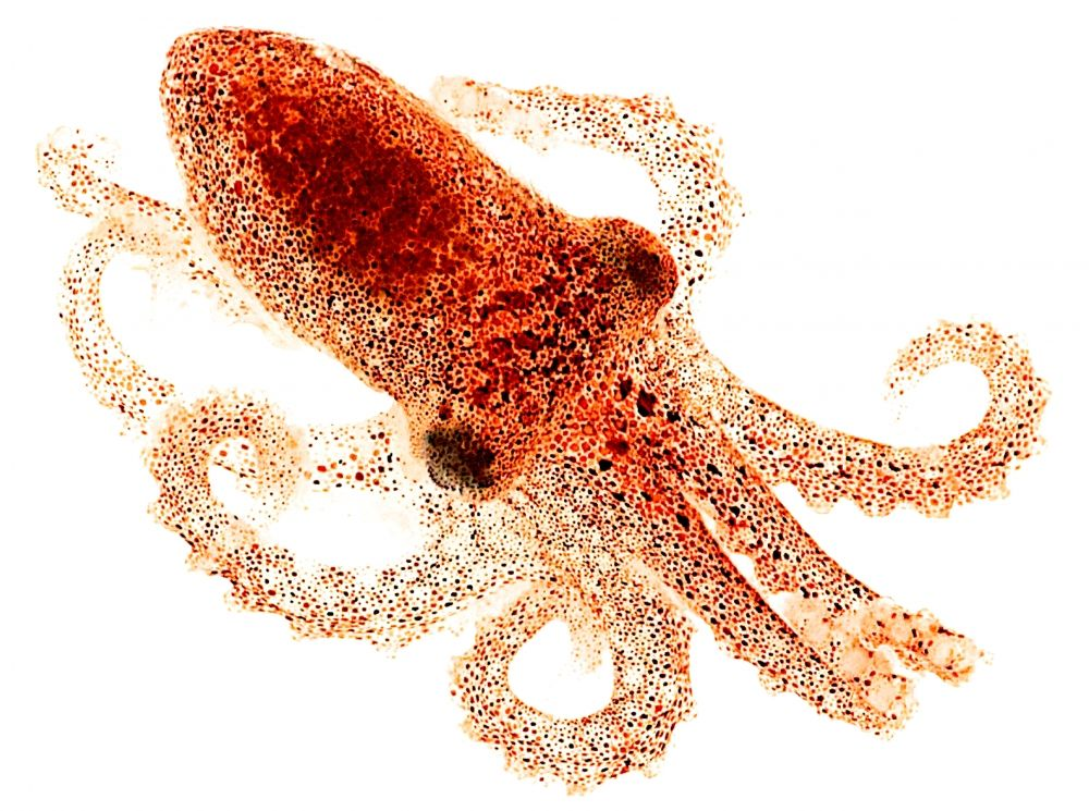 Octopus Can See With Their Skin