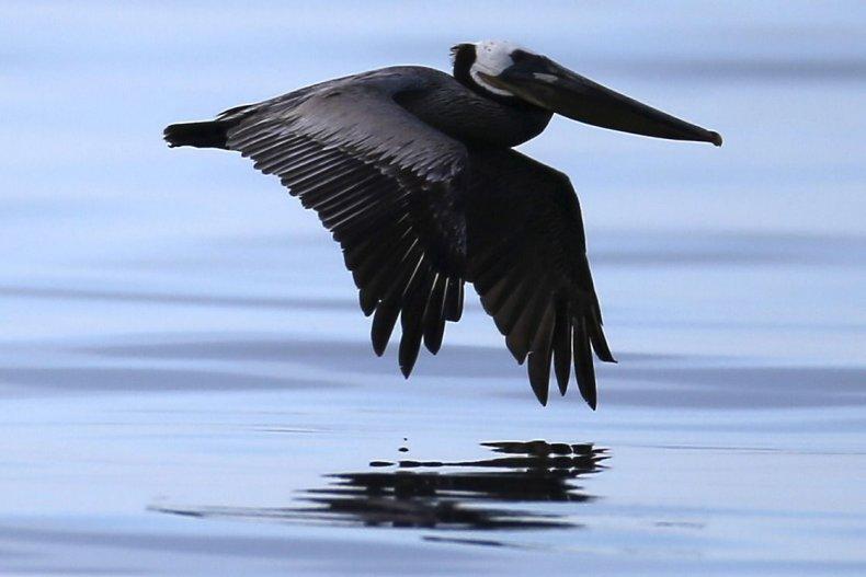 Oiled Pelican in California Oil Spill