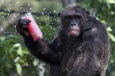 0522_chimpanzee