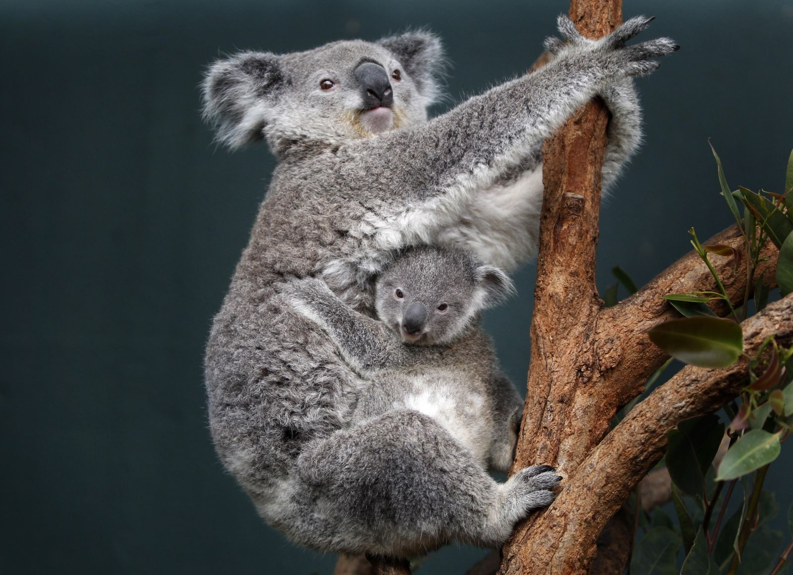 Female koalas given contraceptive implant