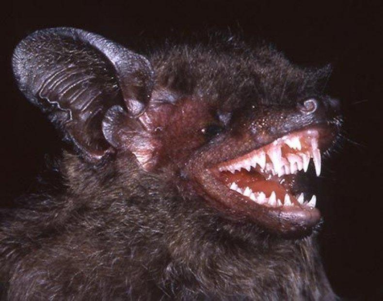 long-fanged-bat
