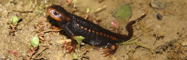 newt-croc