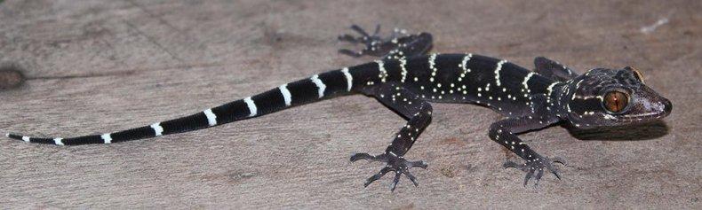 toed-gecko