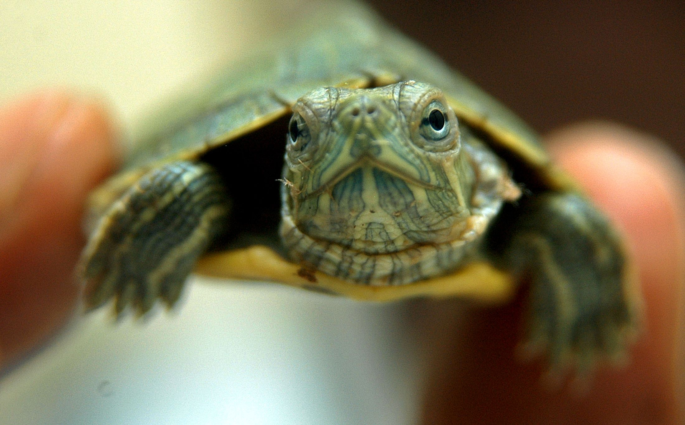 Illegal Traders Have Turned Baby Red Eared Sliders Into A