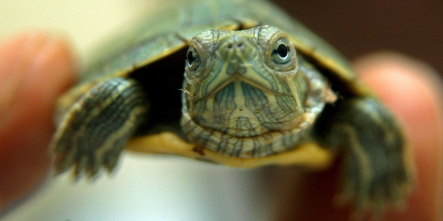 Illegal Traders Have Turned Baby Red-Eared Sliders Into a
