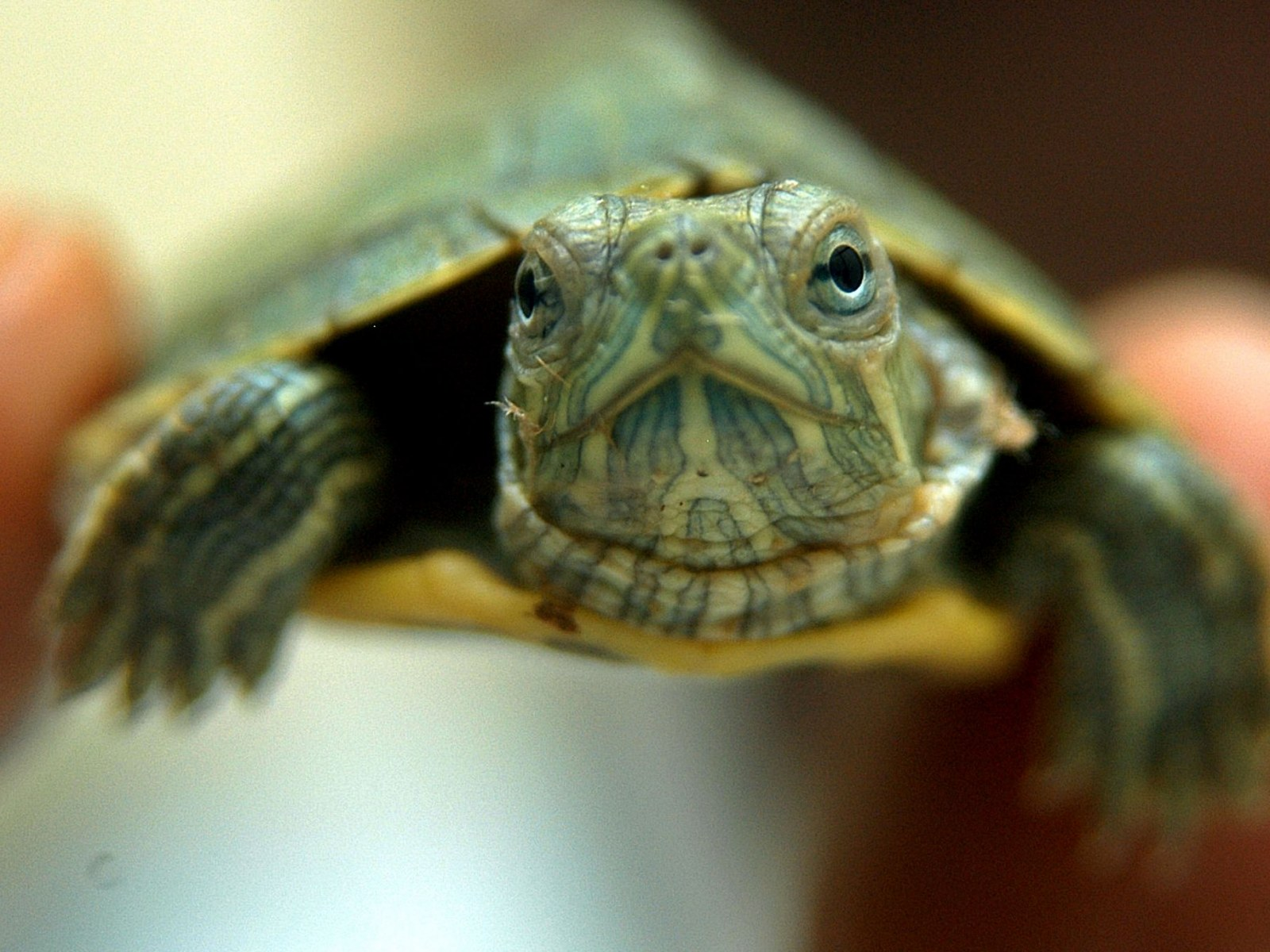 Illegal Traders Have Turned Baby Red Eared Sliders Into A Health And Environmental Threat
