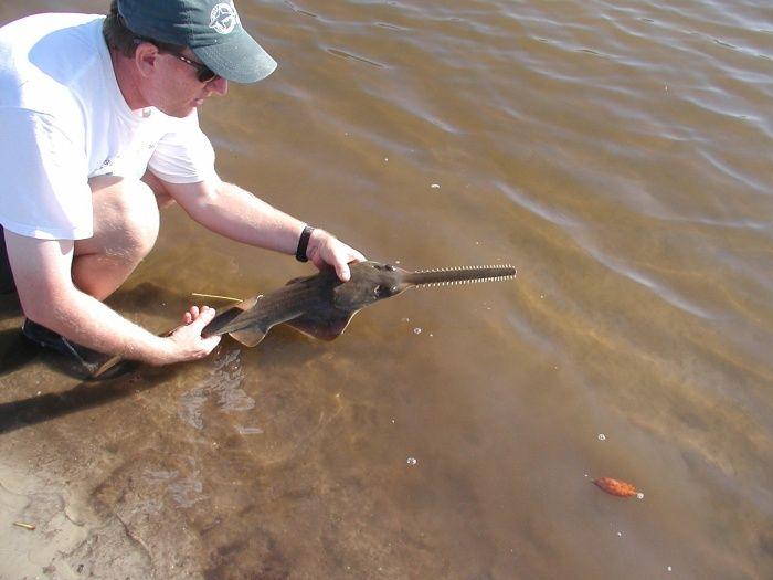 smalltooth-sawfish