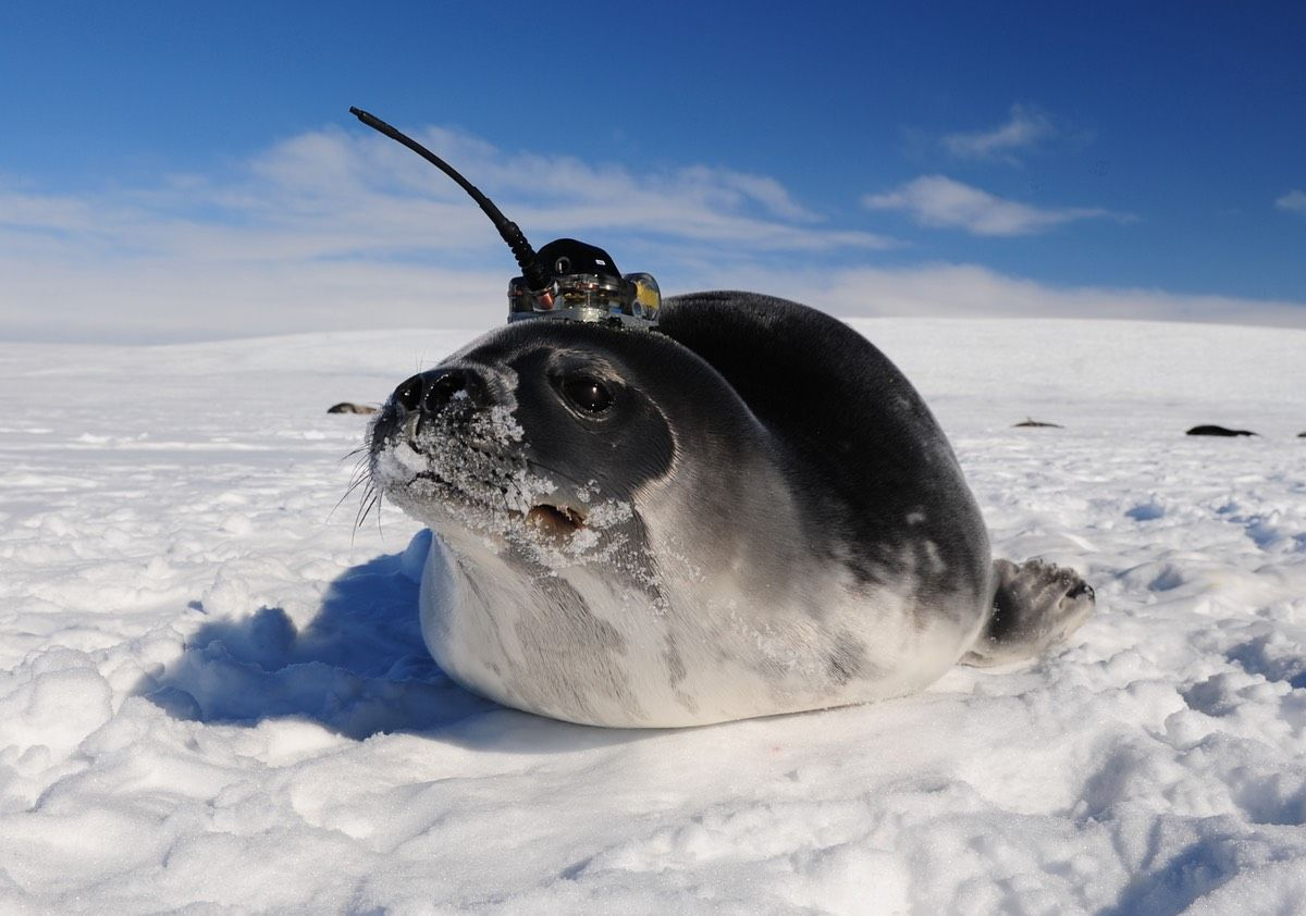 Seals With Sensors On Their Heads Gather Data In The Antarctic