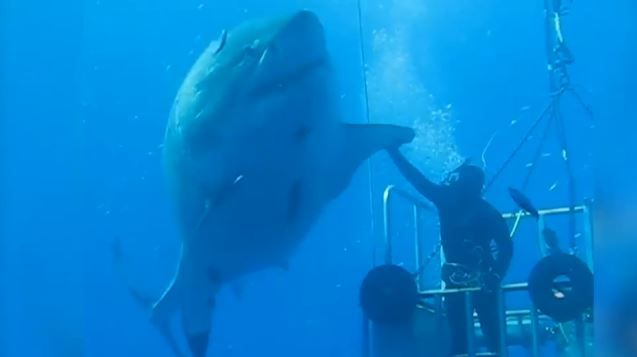 Largest white ever great shark photographed