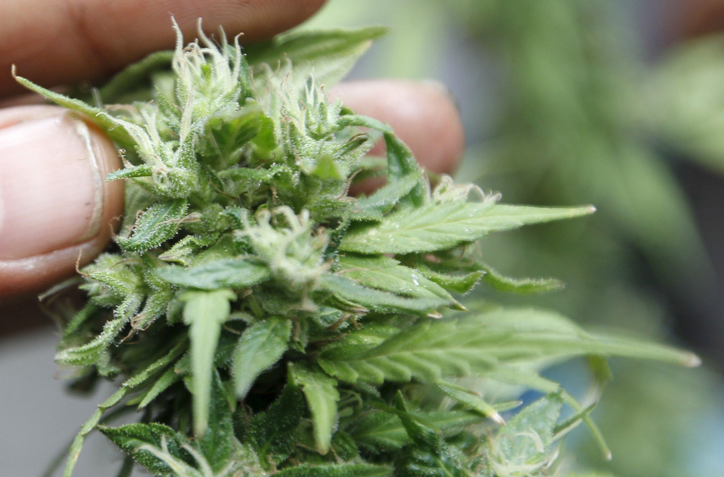cannabis_bud