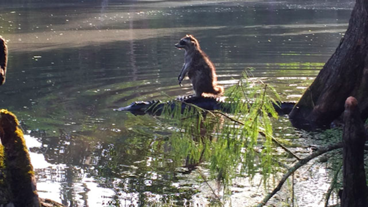 Raccoon-alligator