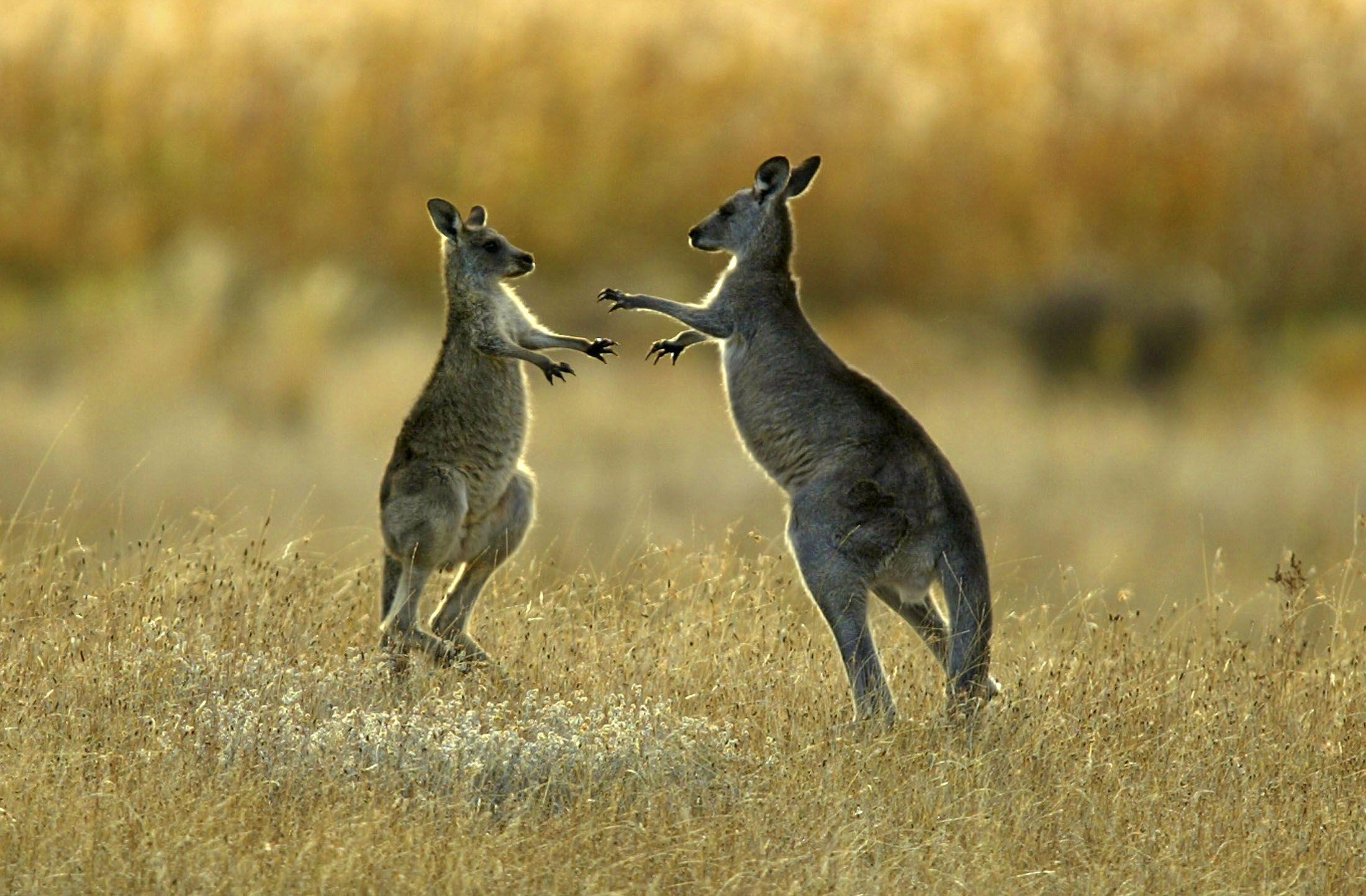 kangaroo-fight