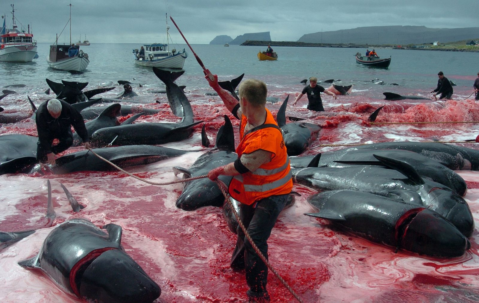 Whale and Dolphin Massacre Faroe Islands