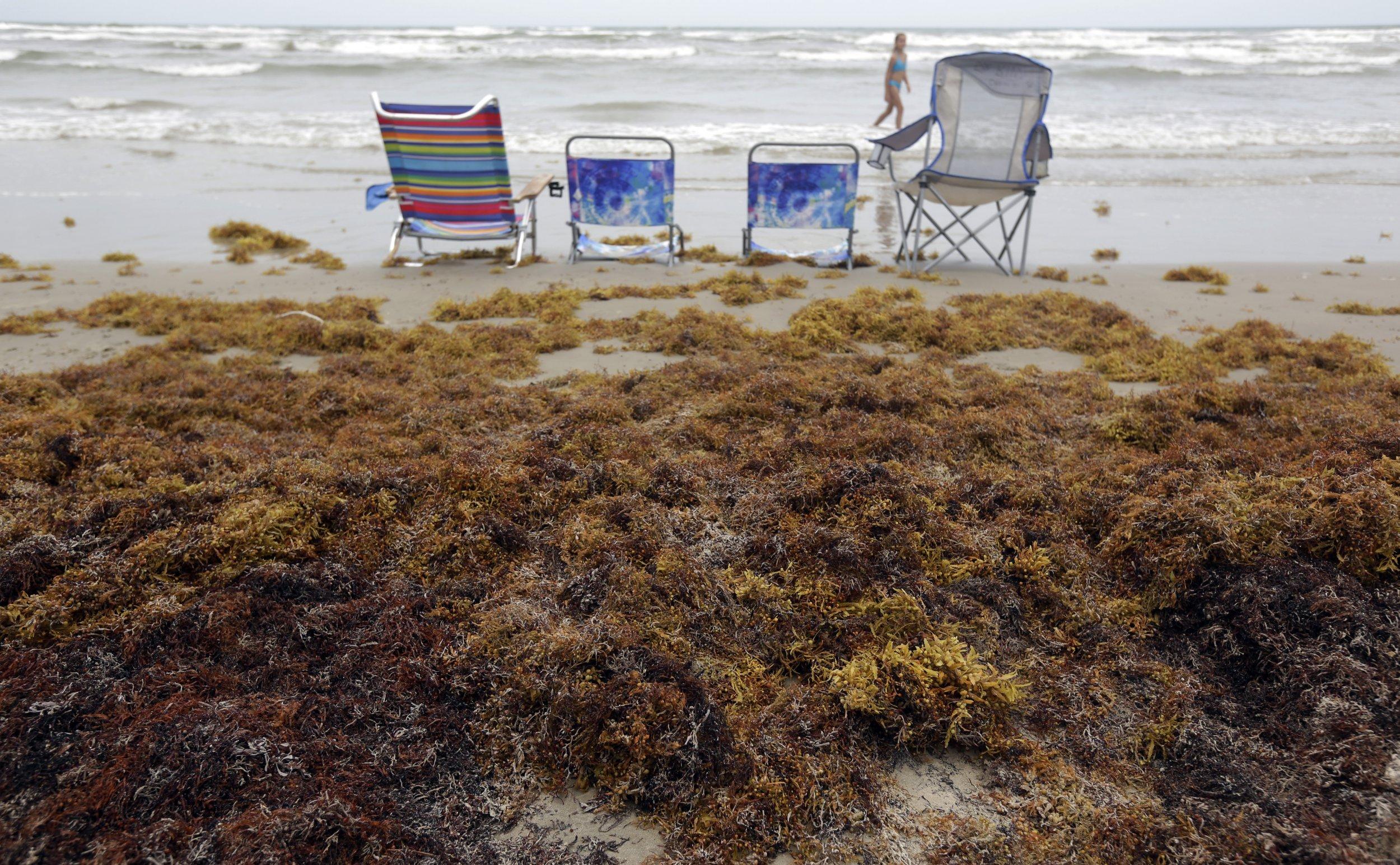 Seaweed In Florida Beaches