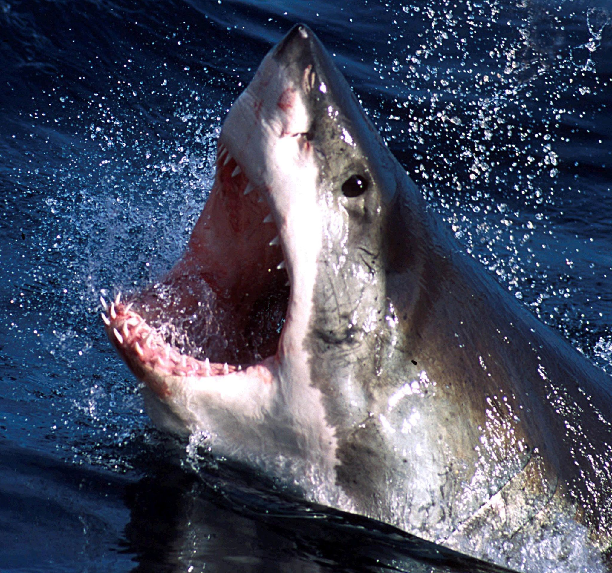 Great White Sharks Force Swimmers Off Southern California Beaches