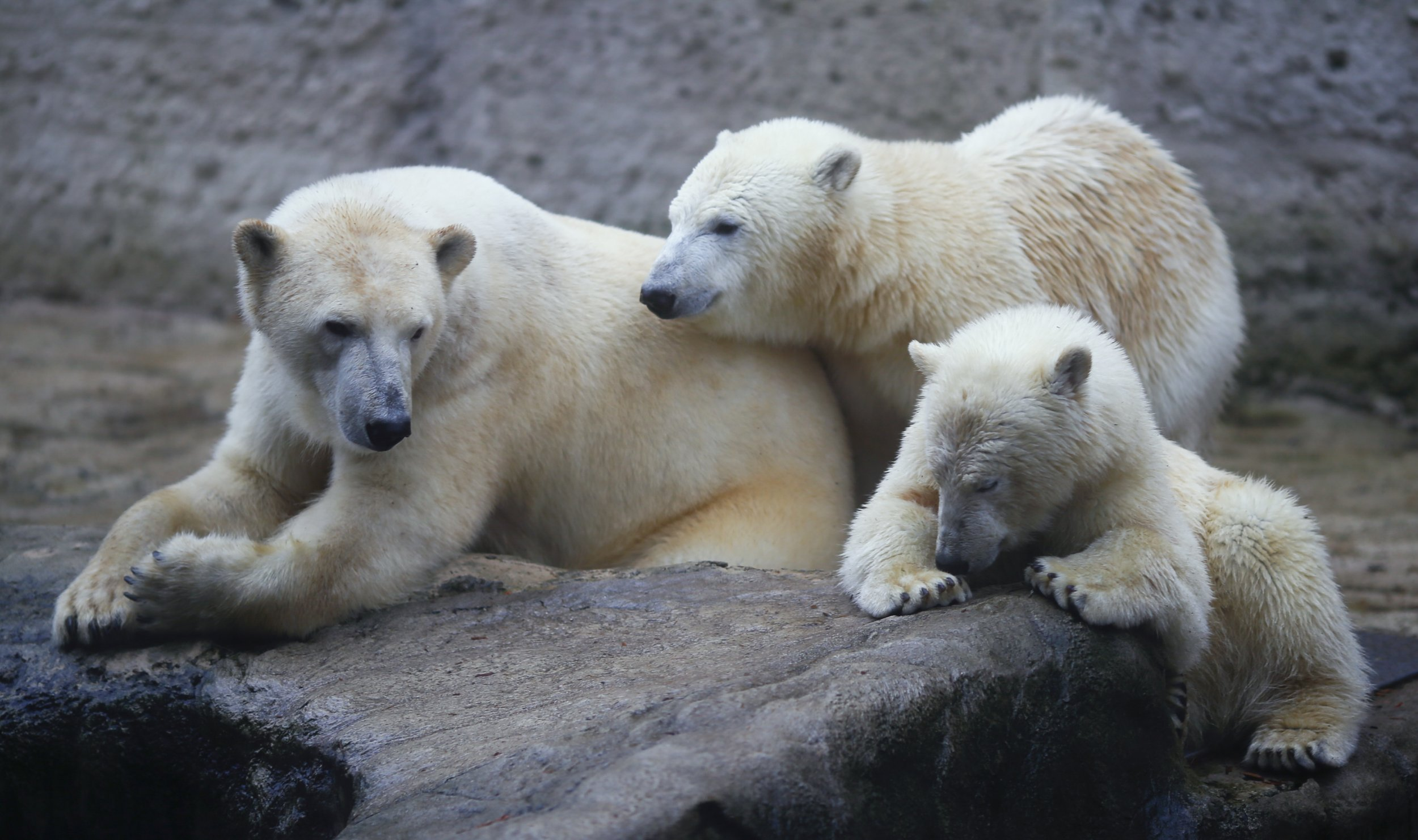 Polar Bears To Start Dying Off In 10 Years, Thanks To