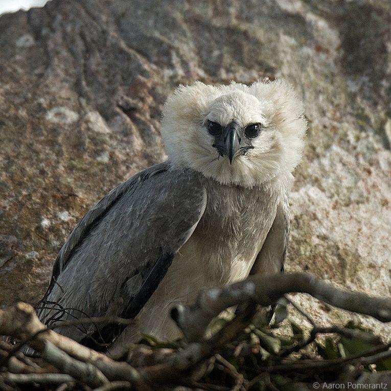 7 harpy chick 2