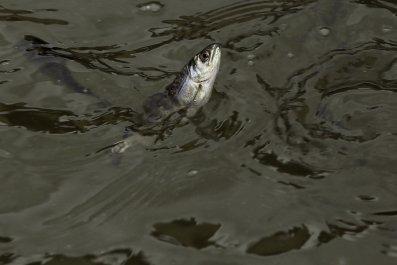 0710_california_salmon_water