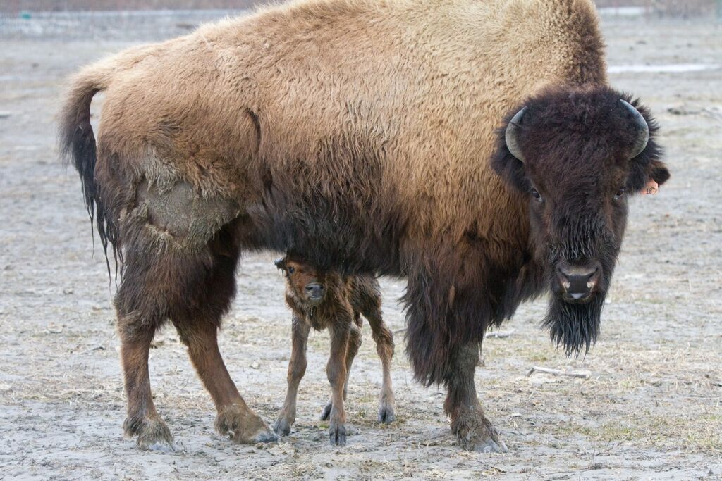 wood bison calves born in wild for first time in a century