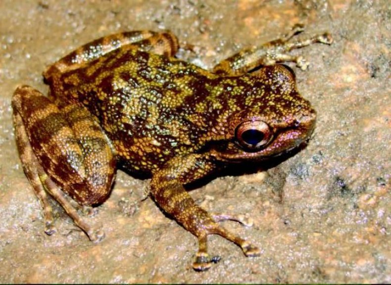 o-ziama-frog